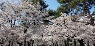 桜満開の写真・画像素材[3019047]