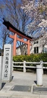 桜と大鳥居の写真・画像素材[3019045]