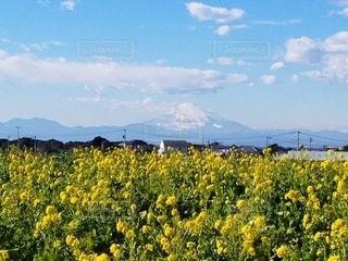 菜の花畑と富士山の写真・画像素材[3033421]