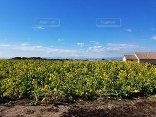 菜の花畑の写真・画像素材[3033422]