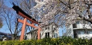 桜の下の大鳥居の写真・画像素材[3034371]