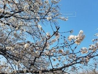 空,花,春,桜,木,青空,花見,樹木,お花見,イベント,草木,桜の花,ブロッサム