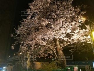 花,春,桜,夜,木,屋外,花見,夜桜,樹木,お花見,ライトアップ,イベント,草木