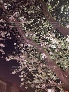 花,春,桜,夜,木,花見,夜桜,サクラ,お花見,ライトアップ,イベント,さくら