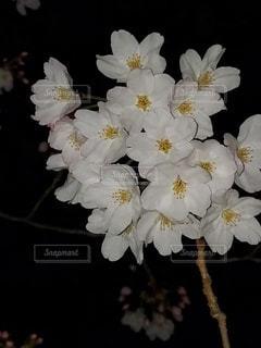 夜に映える桜の写真・画像素材[3039606]