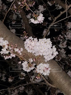 夜に映える桜の写真・画像素材[3039605]