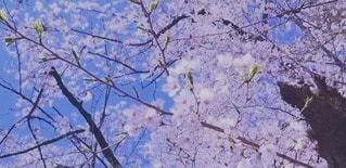 紫色の花を持つ木の写真・画像素材[3050284]