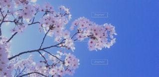 木の上のピンクの花のグループの写真・画像素材[3050343]