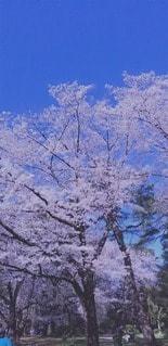 大空と大桜の写真・画像素材[3050403]