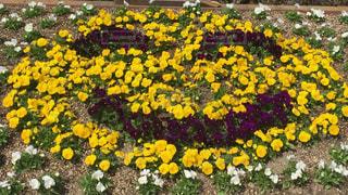 かわいい,スマイル,黄色,鮮やか,癒し,笑顔,写真,花壇,花々,ガーデン,ニコニコ,春よ来い,コロナに負けない