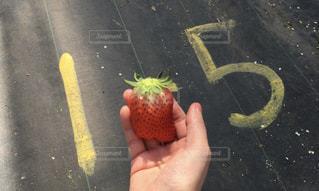 食べ物,いちご,苺,果物,旅行,甘い,地面,いちご狩り,美味しい,strawberry,食材,イチゴ,私の手,日帰り旅行,日帰り,至福の時間,1-5,1-5列目