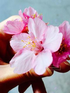 女性,桜,ピンク,植物,かわいい,綺麗,季節,花びら,サクラ,河津桜,cherryblossoms,チェリーブロッサム,さくら,私の手,春めく,色味,短き命