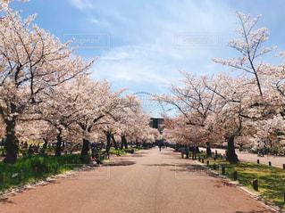 空,花,春,屋外,観覧車,道路,樹木,地面,汚れ,草木,桜の花,さくら,ブロッサム,パス