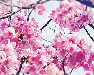 風景,空,花,春,ピンク,綺麗,青空,花見,景色,鮮やか,樹木,桜色,華やか,カラー,河津桜,草木,桜の花,さくら,ブルーム,ブロッサム,春色,川津桜,カワヅザクラ,ピンクカラー