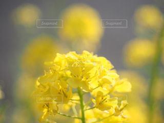 自然,花,春,植物,黄色,菜の花,ふんわり,なのはな