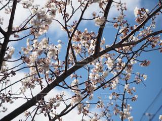 春,桜,雲,青空,花見,日差し