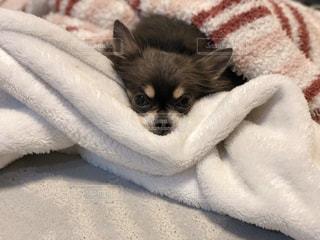犬,動物,屋内,かわいい,寝転ぶ,布,寝る,毛布,ベッド