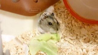 食べ物,動物,ハムスター,屋内,ラット,マウス,ウサギ,齧歯動物