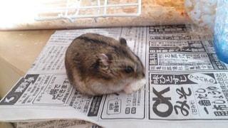猫,動物,ハムスター,屋内,景色,リス,新聞,フェレット,ラット,マウス,テキスト,ウサギ,齧歯動物