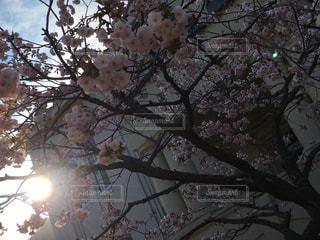 空,花,桜,樹木,さくら,ブロッサム
