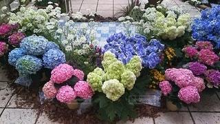 風景,ピンク,紫,水色,鮮やか,紫陽花,草木,ガーデン,フローラ,紫陽花ガーデン
