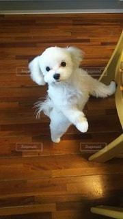 部屋に立っている小さな白い犬の写真・画像素材[3030761]