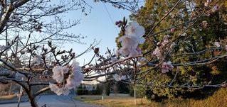 木の枝に桜の写真・画像素材[3037925]