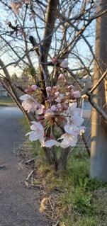 桜の花の写真・画像素材[3038309]