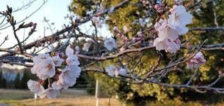 桜咲くの写真・画像素材[3038310]