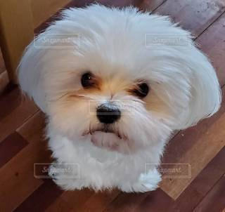 小さな白い犬の写真・画像素材[3039067]