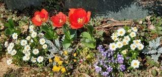 花,屋外,花びら,チューリップ,草木,ガーデン,ブルーム,フローラ