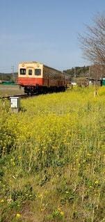 屋外,菜の花,鉄道,小湊鐵道