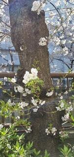 花,桜,草木,さくら,ガーデン