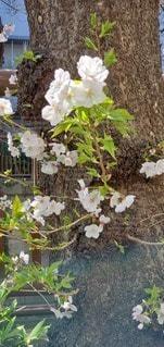 花,桜,屋外,枝,草木,フローラ