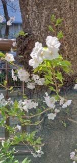 花,桜,草木,さくら,ブロッサム,フローラ