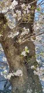 花,春,桜,さくら,ブロッサム