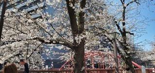 春,屋外,樹木,桜の花,さくら,ブロッサム