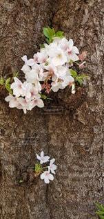 花,桜,屋外,草木,さくら,ブロッサム