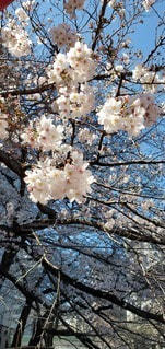 花,鮮やか,樹木,桜の花,さくら,ブルーム,ブロッサム