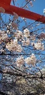 花,春,屋外,青い空,鮮やか,樹木,草木,桜の花,さくら,ブルーム,ブロッサム