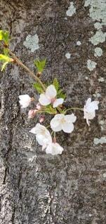 花,桜,花びら,草木,さくら