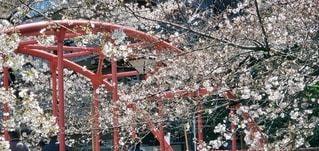 花,桜,赤,満開,樹木,さくら