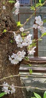 花,桜,草木,咲き始め