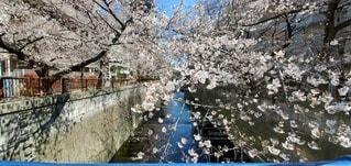 川と桜の写真・画像素材[3047502]