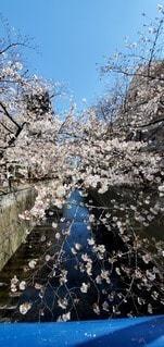 花,春,屋外,目黒川,草木,桜の花,さくら,ブロッサム