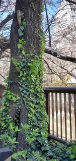 木と桜の写真・画像素材[3047505]