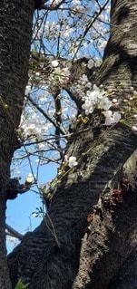 空,花,桜,屋外,草木