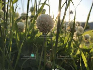 自然,花,春,光,朝,シロツメクサ,草木