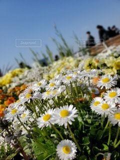 花,白,黄色,デイジー,草木