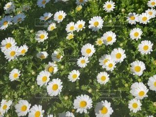 花,白,黄色,草木
